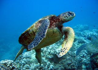 sea turtle seen during snorkeling tour