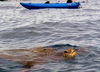 turtle comes up to check out the kayakers.
