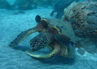 lots of fish and turtles to see while snorkeling