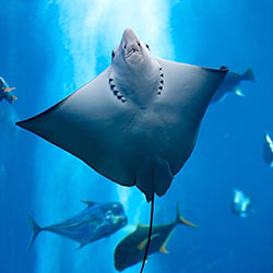 Rays in hawaii manta rays stingrays and spotted eagle rays for Types of ray fish
