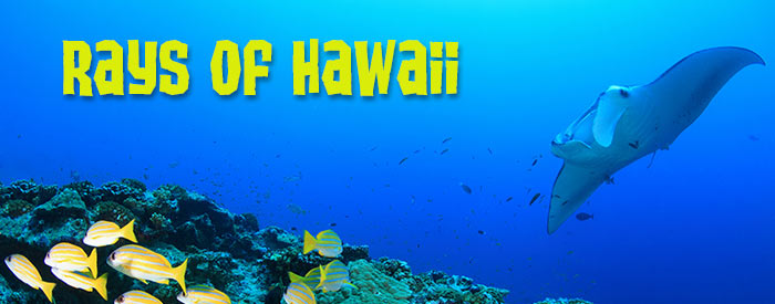 Rays in Hawaii: Manta Rays, Stingrays, and Spotted Eagle Rays