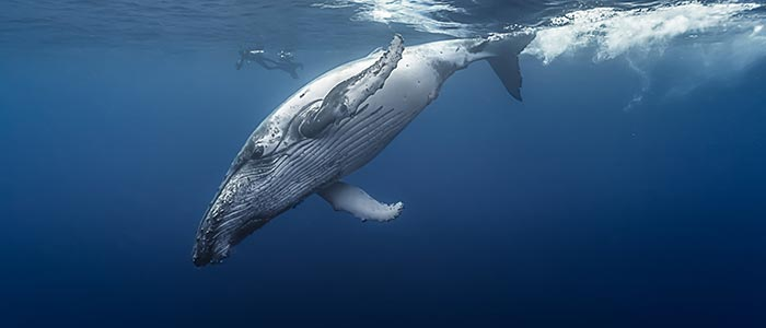 humpback whale song